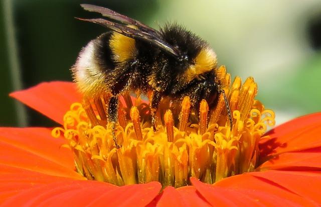 bumble-bee_