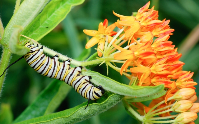 monarch_caterpillar_danaus_plexippus_on_asclepias_tuberosa_butterfly_milkweed_2284495213