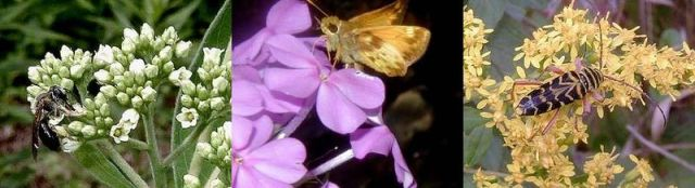 pollinator_insects