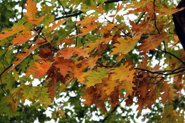 Tree Oak Oak Leaves Foliage Autumn Autumn Gold